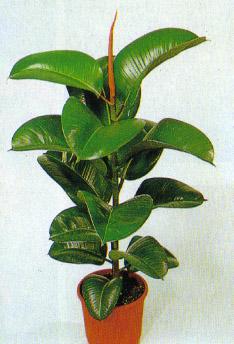 الموضوع: النباتات المنزلية بالصور